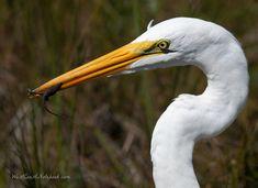 Birds Of South Padre Island, Texas   Great Egret with Lizard #greategret #southpadreisland #texas #birds