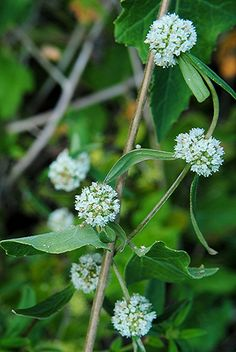 Alligator Weed flowers