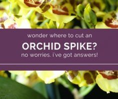 A-Simple-Guide-to-Cutting-an-Orchid-Spike.jpg