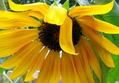 sunflower  sides  photographs by paradisereal on Etsy, $24.00