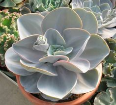 Echeveria Blue Dude Parentage : Echeveria 'Joy's Giant' x Echeveria laui Created by Robert Campbell, USAInternational Crassulaceae Network