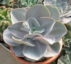 Echeveria Blue Dude Parentage : Echeveria 'Joy's Giant' x Echeveria laui Created by Robert Campbell, USAInternational Crassulaceae Network