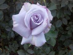 Portland, Oregon Rose Garden Beauty.
