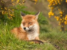 Red Fox by Michael Taylor on 500px