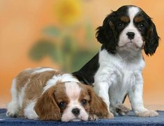 Cavalier King Charles Spaniel - Photography by Alamy