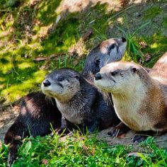 My son could watch the otters at the Oakland Zoo all day!! They have revamped the zoo and it is now incredible- I no longer feel sorry for the animals like I did visiting as a kid.