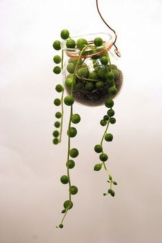 hanging pot with string of pearls succulent by LeahPellegrini* Cool Plants, Air Plants, Potted Plants, Garden Plants, Indoor Plants, Cacti And Succulents, Planting Succulents, Planting Flowers, Plantas Indoor