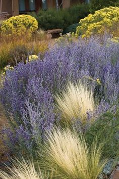 Russian Sage and Mexican Feather Grass Designed by nature to withstand climate extremes, silver plants light up the garden and enliven color schemes wherever they grow. Landscaping Shrubs, Landscaping Ideas, Mexican Feather Grass, Silver Plant, Xeriscaping, Mediterranean Garden, Ornamental Grasses, Dream Garden, Land Scape