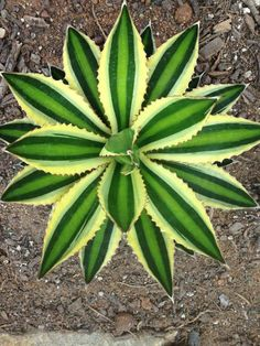 Agave lophantha 'Quadricolor' World of Succulents.  Regular Agave lophantha is one of the most cold hardy agaves, down to maybe 10 deg F.  This variegated variety may not be quite as hardy.