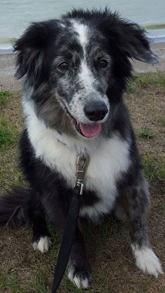 What a beautiful old Border Collie dog!