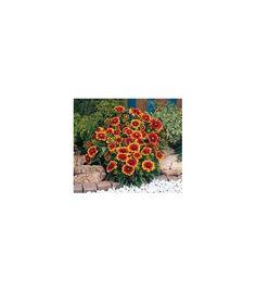Kokarda velkokvětá - semena kokardy - Gaillardia grandiflora