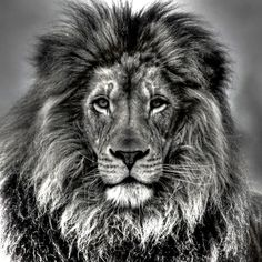 Lion in black & white