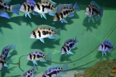 Find Frontosa For Sale daily on our site. Everything from Wild Caught Mpimbwe Frontosa Gibberosa fry to young colony breeders and showfish. These Burundi frontosa are the highest quality fish with deep, vibrant blues, jet black stri Aquarium Fish For Sale, Tropical Aquarium, Aquarium Fish Tank, Planted Aquarium, Tropical Fish, Cichlid Fish, Florida Fish, Lake Tanganyika, Fish Breeding