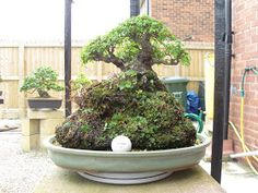 Graham's Bonsai: chinese elm root over rock