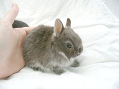 Netherland Dwarf Rabbits... a must have! I want a rabbit again so badly but I don't want it to look anything like my poor Doc. She was a good rabbit that lived 10 years and it just wouldn't be right to get one that looked like her. And oh my goodness this one is cute! :)