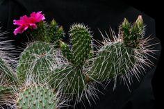 Opuntia polyacantha Haworth 1819 (El Paso County, Colorado, U.S.A.) (forma rubra) - ex Esterel → Fioreverde min.temp.(tested) <-30°C/<-22°F full sun, light purple red flower, alkaline soil