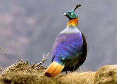 Nepali bird: June 2011