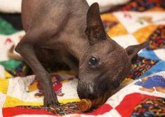 Petfinder Adoptable Dog | Xoloitzcuintle (Mexican Hairless) | San Francisco, CA | Zorro