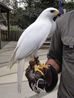 Grey goshawk of Australia (white morph) - the only pure-white bird of prey that is not a result of albinism.