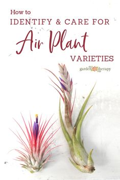 What Kind of Tillandsia do I Have? Identify and Care for Common Air Plant Varieties - What Kind of Tillandsia do I Have? Identify and Care for Common Air Plant Varieties The Effective P - Types Of Air Plants, Air Plants Care, Plant Care, Caring For Air Plants, What Are Air Plants, Planting Succulents, Garden Plants, Indoor Plants, Planting Flowers