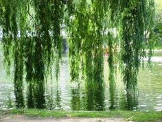 Weeping Willow - i love reading under a weeping willow by the water