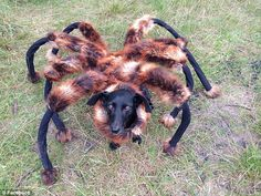 Innocent: Chica the dog is dressed up as a giant spider before being let loose on the unsuspecting public