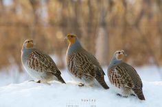 Grey Partridge wait on a snowbank for a safe moment to cross the road. Grey Partridge, Draw On Photos, Game Birds, Winter Colors, Christmas Images, Bird Art, Bird Feathers, Beautiful Birds, Animales