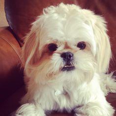 Shorkie, sweetest dog ever.
