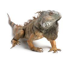 www.petclic.es la mayor tienda online de productos para #mascotas. La mayor biblioteca de contenido y consejos sobre mascotas. 1.000 consejos. 50.000 imagenes. Foto de #animales #reptiles #iguana
