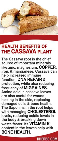 The Cassava root is the chief source of important minerals like zinc, magnesium, copper, iron, & manganese. It can help increased immune function, DNA repair & protection, while also reducing frequency of migraines. Amino acid in the leaves are useful for wound healing, replacing damaged cells & bone health. The Saponins in the root helps with managing cholesterol levels, reducing acidic levels in the body & breaking down waste faster. #dherbs