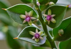 Ruscus aculeatus - a low evergreen shrub - small greenish flowers appear in spring in the centre of the leaves (cladodes). How dainty!