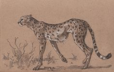 Cheetah drawing from Tom Babbey Cheetah Drawing, Cat Drawing, Life Drawing, Animal Sketches, Animal Drawings, Cat Anatomy, Nature Sketch, Animal Fashion, Wildlife Art