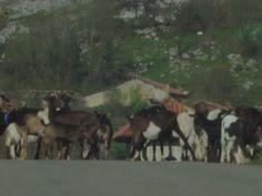 Rebañu de cabras