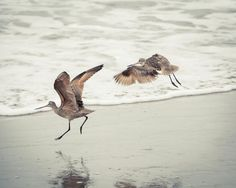 Two Godwits Flying. Prints come in 10 sizes! #Shorebirds #Flying #Birds #Godwits #Ocean #Photography #Prints #ForeSale #Product #Art #WallArt