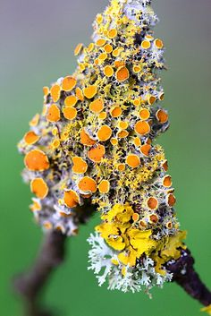LICHEN http://homesteadbound.hubpages.com/hub/Macrophotography-of-Lichen-Macrophotographic-Images-of-Lichen