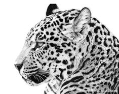 Graphite pencil drawing of a jaguar. Because I love drawing big cats!