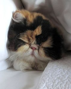 """Princess Peony, one of Martha Stewarts cats. Repinned from her """"Pets"""" pinboard."""