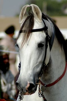 Marwari horses are known for their distinctive ear style. Book a trip in India and ride one! http://www.equitours.com/horseback-riding-destinations/asia/india/
