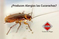 ¿Producen Alergias las Cucarachas? - Trolex ¿Por qué producen alergia las cucarachas? ¿Cuáles son los síntomas de la alergia de la cucaracha?