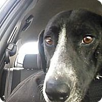 Pictures of Sasha a Bull Terrier/Hound (Unknown Type) Mix for adoption in New Philadelphia, OH who needs a loving home.