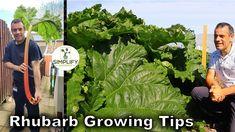 Growing Rhubarb, Rhubarb Plants, Propagation, Permaculture, Vegetable Garden, Berries, The Creator, Herbs, Landscape