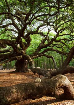 The Angel Oak | Flickr - Photo Sharing! Outside Charleston, SC I've been there!!!!!