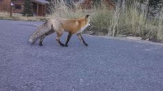 Red Fox, Big Sky Montana