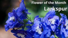 July Birth Flower Larkspur July Birth Flower, Birth Month Flowers, Flower Meanings, Meant To Be, September, Plants, Plant, Planets, Color Meanings