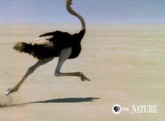pbsnature:  The ostrich's powerful legs allow it to reach speeds of over 40 miles an hour.
