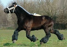 Brabant Trekpaard stallion, Bart. Also known as the Belgian Heavy Horse, it is probably the most influential draft horse, used in developing many other familiar draft breeds. Look at the action on a 16+ hand, one ton horse. photo: Ton van der Weede.