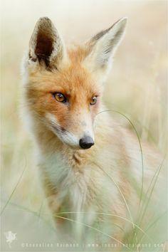 ~~That Foxy Face | red fox portrait | by Roeselien Raimond~~