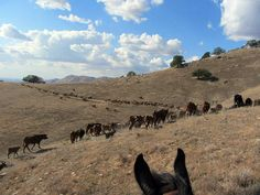 Moving cattle in California at Rankin Ranch, a true working ranch.