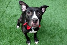RETURN! OWNER DIED! safe? SUPER URGENT manhattan Center SHEBOYAH – A1106327  **RETURNED 04/24/2017**SAFER : AVERAGE HOME**  SPAYED FEMALE, BLACK / WHITE, AM PIT BULL TER MIX, 3 yrs STRAY – ONHOLDAVAI, HOLD FOR OWNER DIED Reason OWNER DIED Intake condition EXAM REQ Intake Date 04/24/2017, From NY 10457, DueOut Date 05/02/2017, I came in with Group/Litter #K17-094986. Came in With      SHADOW - A1106325