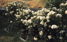 Norwegian author Annemarta Borgen's rose garden on the island Knatten.  Photo: Gary Rogers, Norsk Folkemuseum
